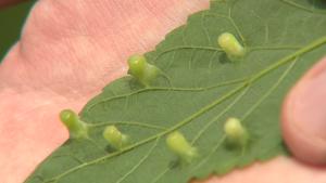 Leaf Bumps & Penstemons