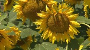 NE State Fair, Tour Raising Nebraska, Pearl Millet