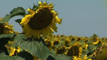 Landscapes of South Dakota: Sunflowers