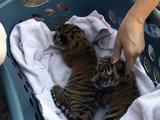 Nature Adventures | Saving the Tigers