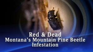 Red and Dead: Montana's Pine Beetle Infestation (No. 602)
