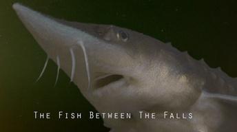 Fish Between the Falls