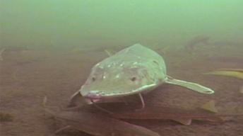 In Murky Waters: The Plight of the Pallid Sturgeon