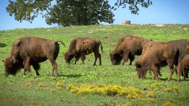 Buffalo Rancher