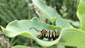 Poems from the Field: Caterpillar