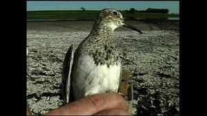 Shorebird Banding and the MWT