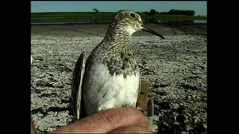 Prairie Sportsman: Shorebird Banding and the MWT