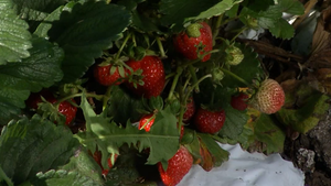 Growing Strawberries in Cold Climates