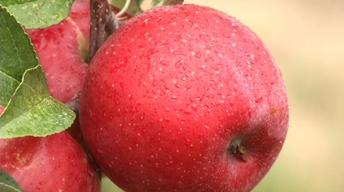History of Minnesota Apple Development
