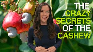 The Crazy Secrets of the Cashew
