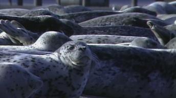 Seals and Sea Lions, Peregrin Falcons, Summer Lake