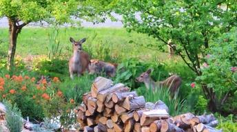 Learn How to Deal with Backyard Deer