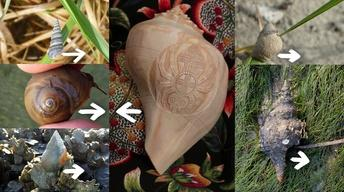 Exploring Muscogee Culture Through Shell Carving