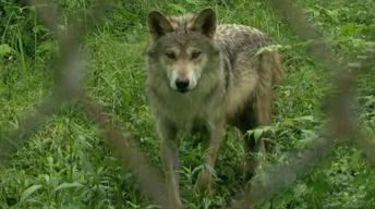 Wolf Pup Update