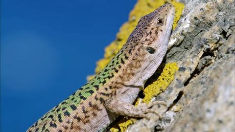 Nature -- Cannibal Wall Lizards in Greece