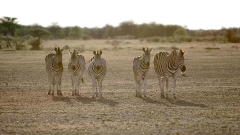 Nature's Great Race -- Awaiting at the Zebra Finish Line