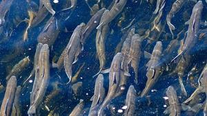 Desperate Alewives
