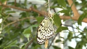 Krohn Conservatory Butterfly Show 2014