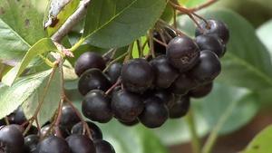 Urban Habitat; Grapes & Viticulture (#1406)