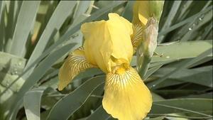 Reblooming Irises; Japanese Garden Design (Show #1408)