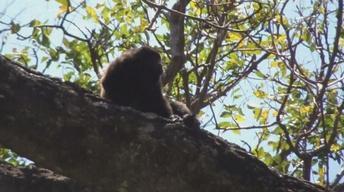 Ometepe's Howler Monkeys