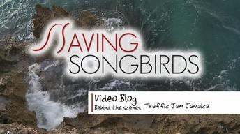 Saving Songbirds | Jamaican Traffic Jam