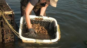 UNH-COLSA/Tuttle series | Oyster Farming