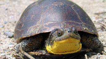 Tracking Blanding's Turtle