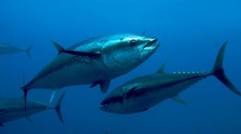 Tagging Tuna