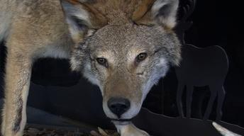 Mysterious Coyotes | Walleye Restoration | Beaver Pond Brook