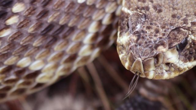 In the Grass with the Eastern Diamondback Rattler
