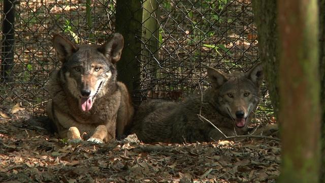 The Red Wolves of the Tallahassee Museum