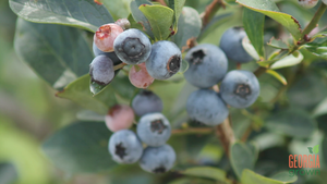 Pick, Cook, Keep: Blueberries