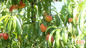 Pick,Cook,Keep: Peaches