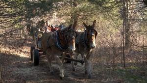 Hunting by Mule-Drawn Carriage