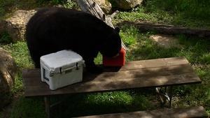 Beware of Black Bears