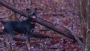 Hunting Dogs and Wild Hogs