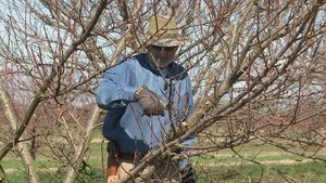 Pruning Nectarine Trees & Growing Cabbage