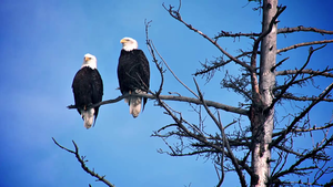 Big Cypress National Preserve: Bald Eagles