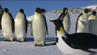 NATURE Series Infiltrates Penguin Huddles with Spy Cams