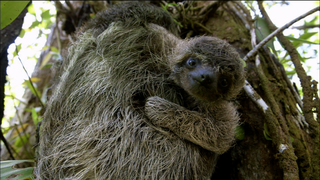 "PBS Nature's ""A Sloth Named Velcro"""