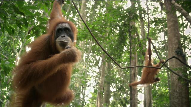 2/19:Scott Stringer,Steve Forbes,Matt Bai,Orangutans