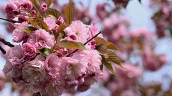 Celebrating Spring with Japanese Cherry Blossoms: A Brooklyn