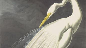 Curator's Choice: Audubon Collection