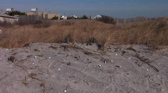 Sandy Causes a Demand for Dune Grass as a Storm Defense