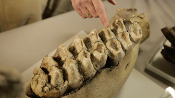 ARTifacts: Ice Age Mammals in Ohio