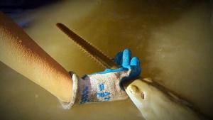 Saving Sawfish
