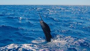Billfish: Battle on the Line?