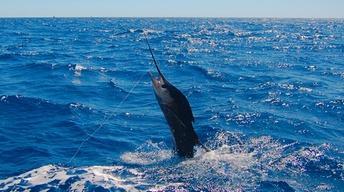 Billfish: Battle on the Line?