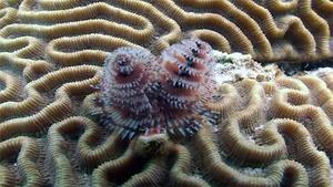 Coral Hybrids